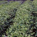WuYiShan (武夷山) – dzień pierwszy, herbaciany szał