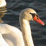 Łabędzie II