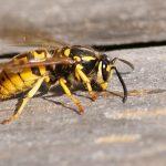 Szerszeń i pszczoła