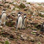 Pingwin!